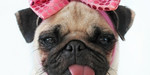 Cute Pug dog with rose bow