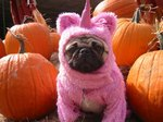 Cute Pug girl in pink