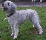 Cute Pumi dog