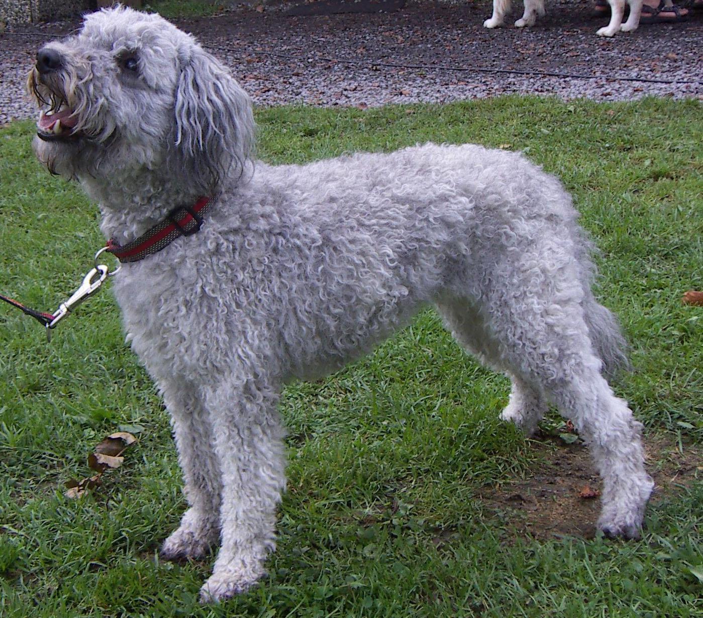 Симпатичная собака пуми фото