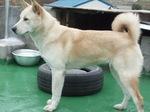 Cute Pungsan Dog