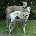Cute Rampur Greyhound dogs