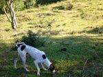 Cute Rastreador Brasileiro dog