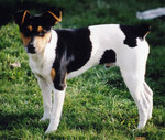 Cute Rat Terrier dog