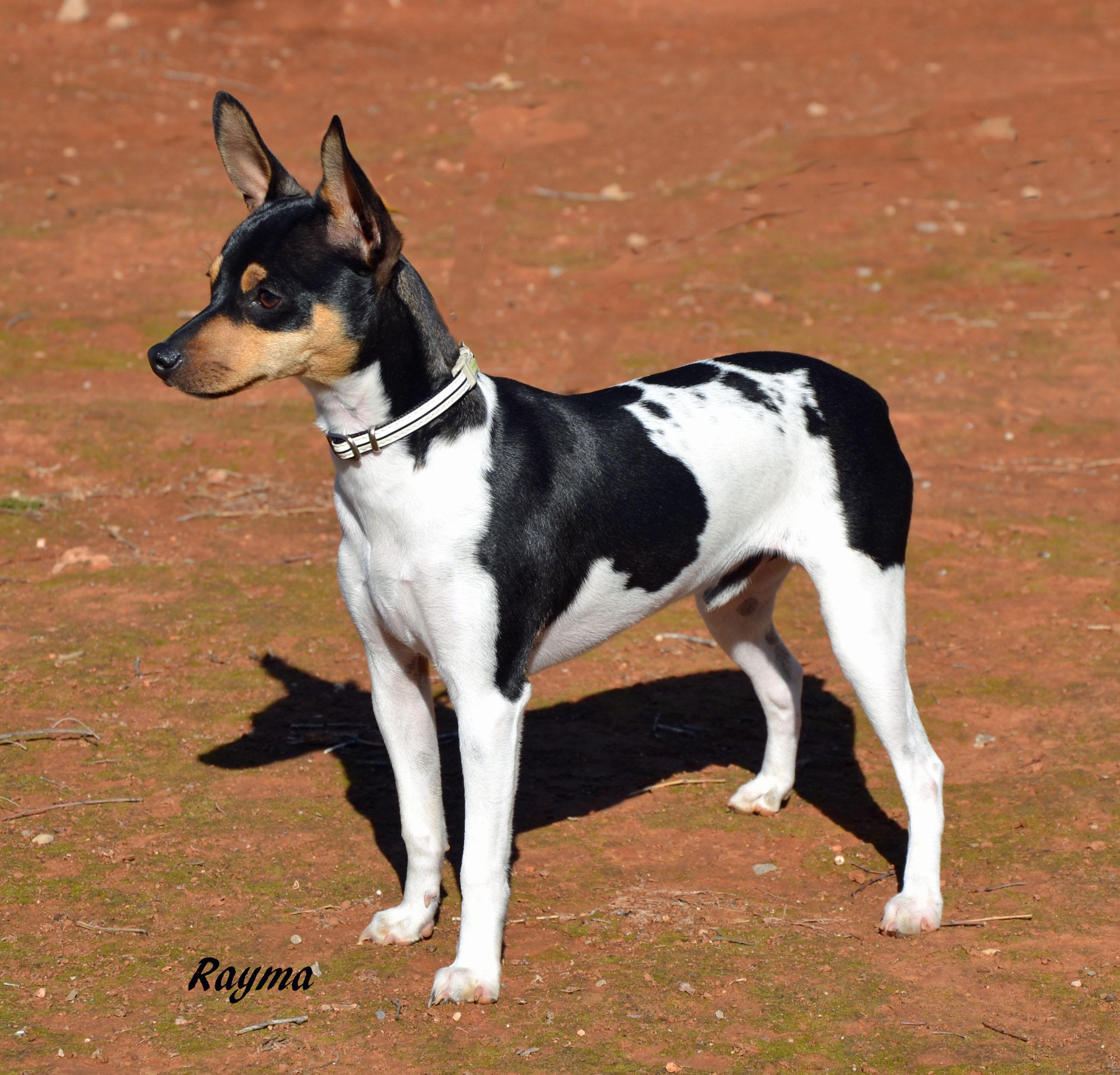 Симпатичная собака Ratonero Valenciano фото