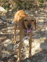 Cute Redbone Coonhound dog