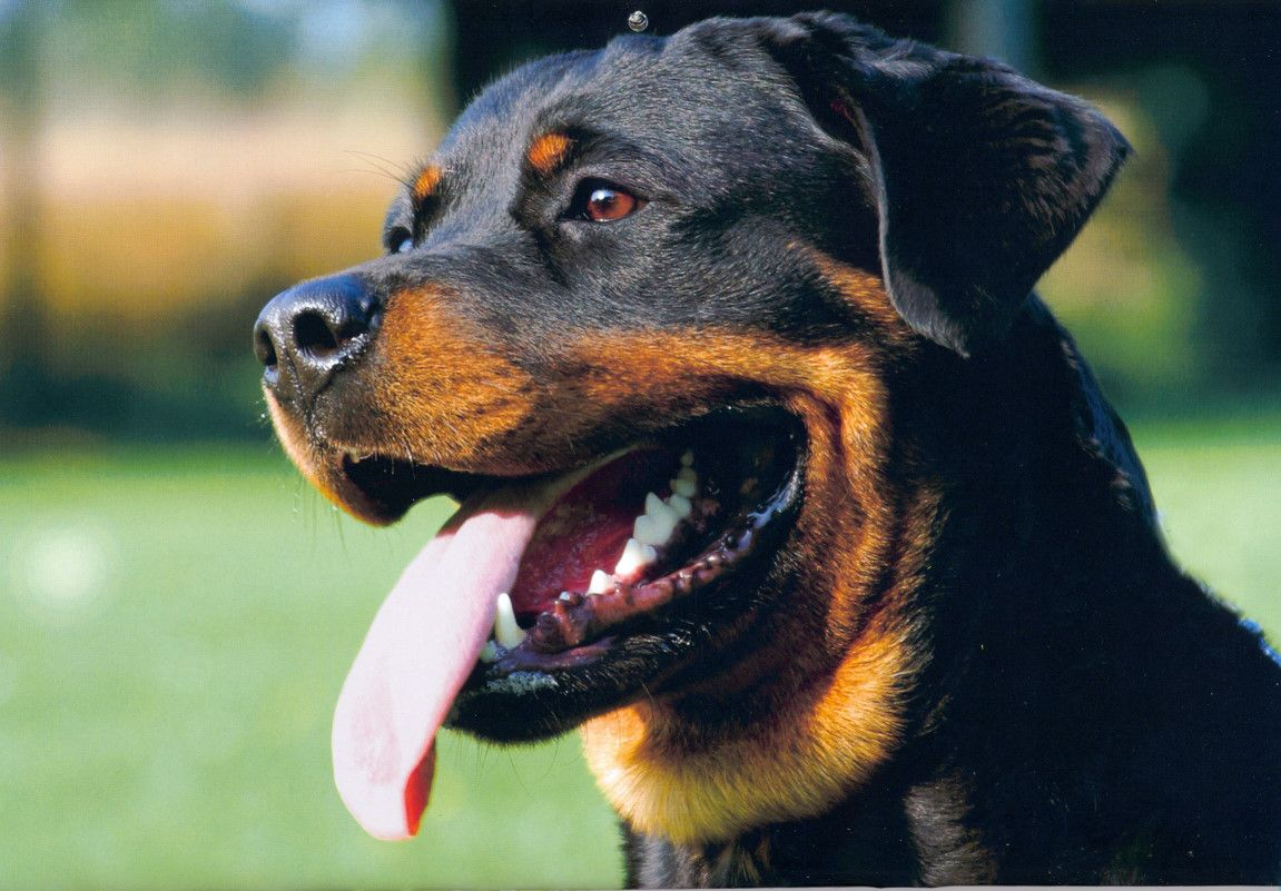 Cute Rottweiler dog  wallpaper
