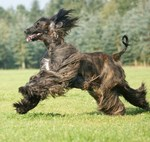Cute running Afghan Hound