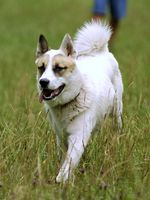 Cute running West Siberian Laika