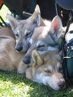 Симпатичные волчьи собаки Сарлоса
