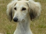 Cute Saluki dog