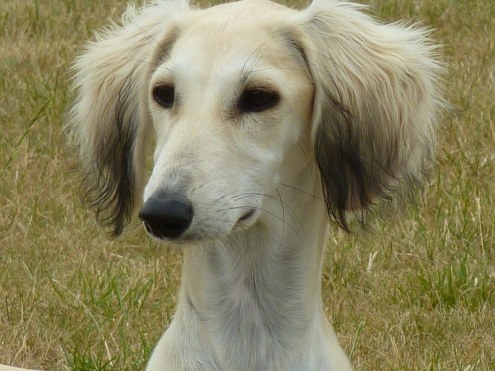 Add photos cute saluki dog in your blog