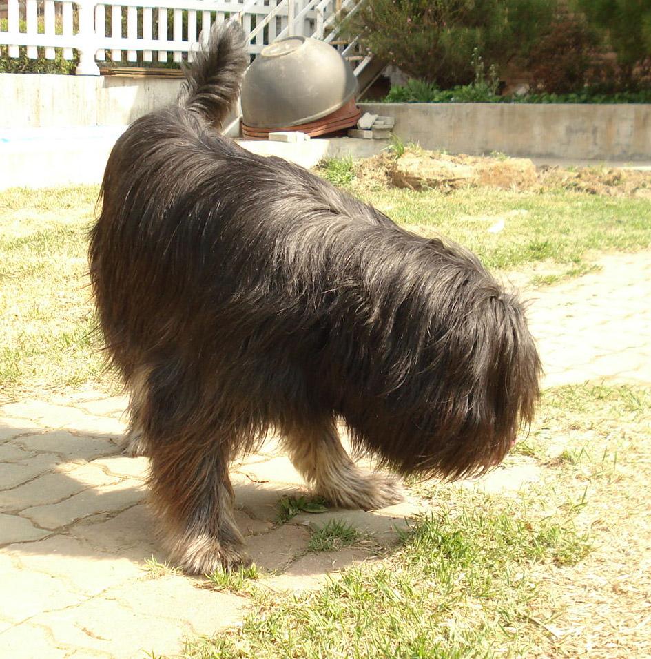 Симпатичная собака сапсари фото