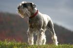Cute Schnauzer, Standard dog