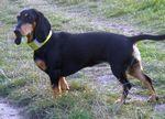 Cute Schweizerischer Niederlaufhund