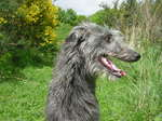 Cute Scottish Deerhound dog