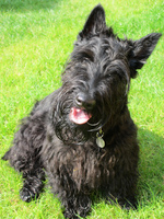Cute Scottish Terrier dog