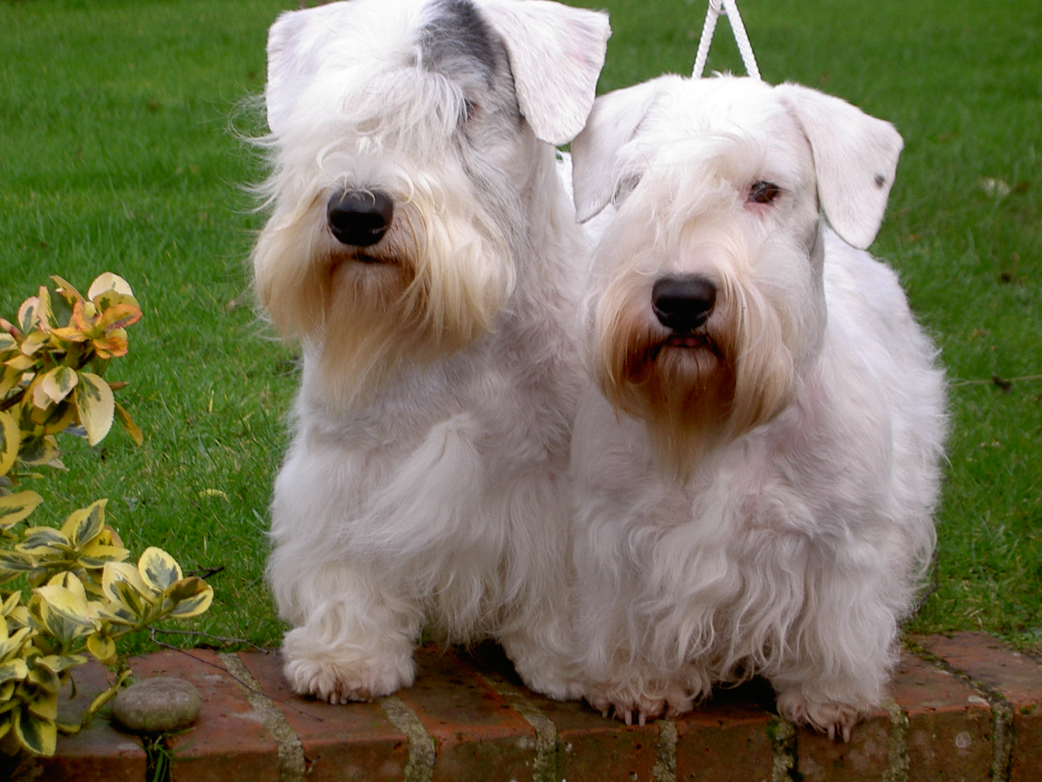 Cute Sealyham Terrier dogs wallpaper