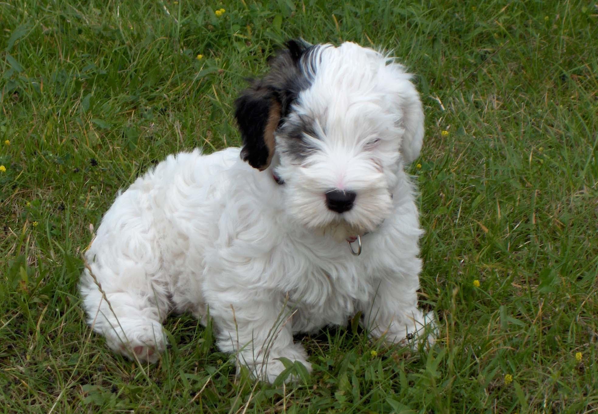 Cute Sealyham Terrier puppy wallpaper