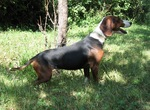 Cute Serbian Hound dog