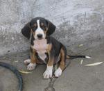 Cute Serbian Tricolour Hound