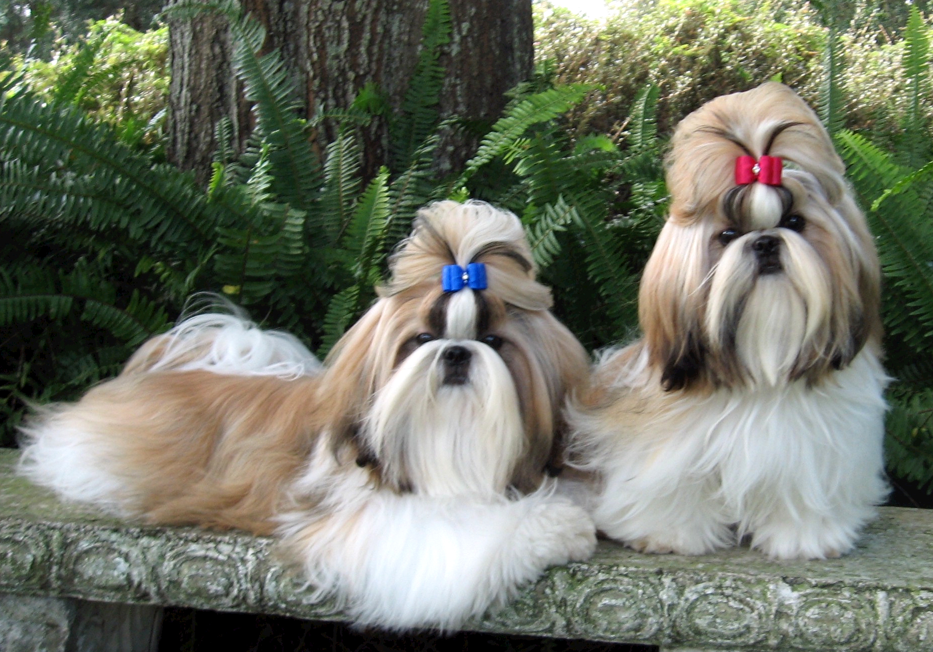 Cute Shih Tzu dogs wallpaper