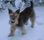 Cute snowy Airedale Terrier