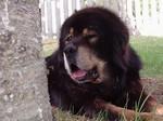 Cute Tibetan Mastiff