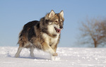 Cute Utonagan dog