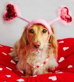 Cute Valentine's Day dachshund