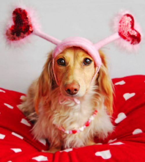 Cute Valentine's Day dachshund wallpaper