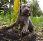 Cute Weimaraner puppy