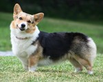 Cute Welsh Corgi Cardigan dog