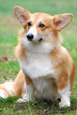 Cute Welsh Corgi Pembroke dog