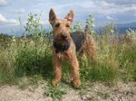 Cute Welsh Terrier