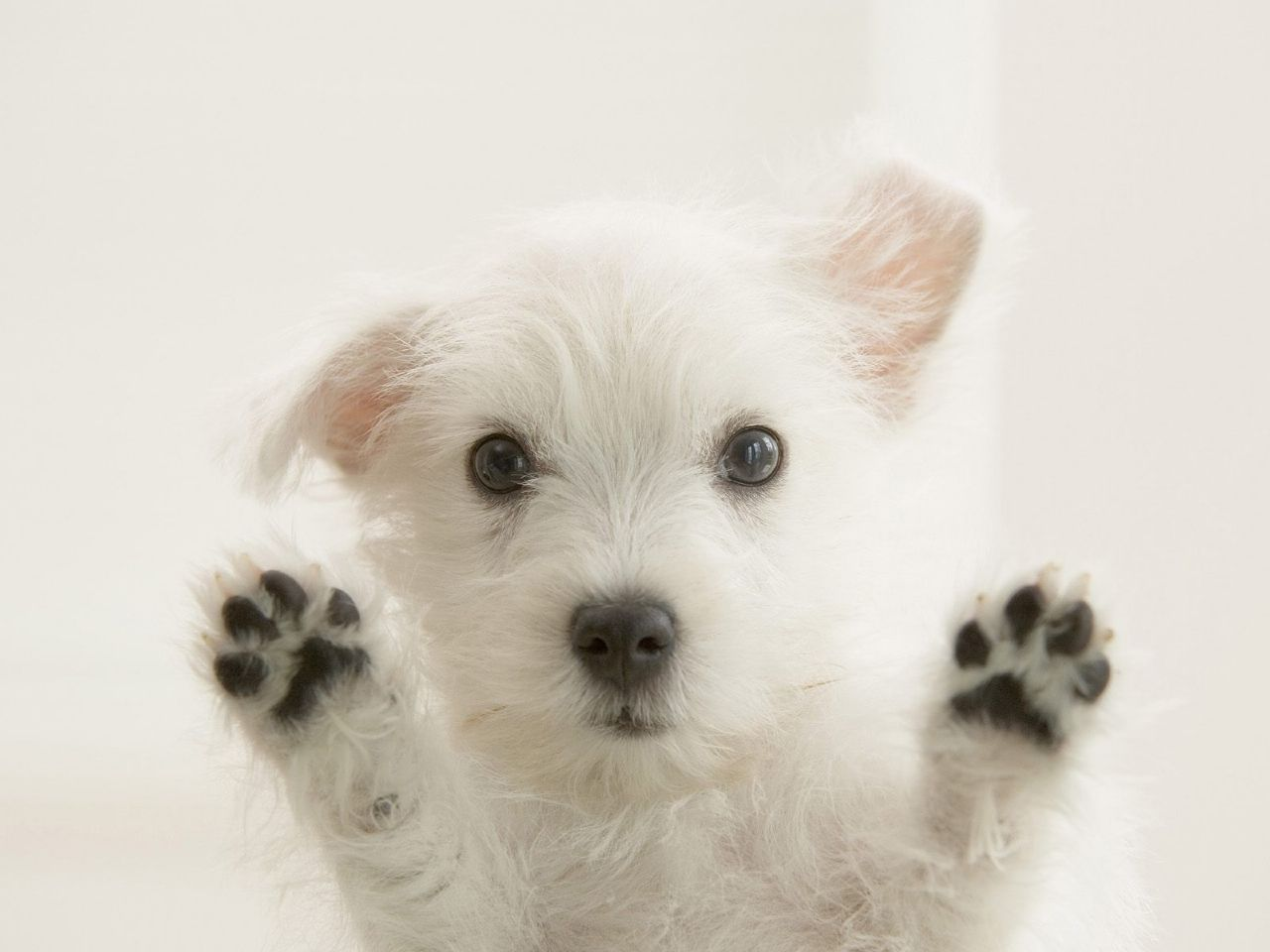 Cute West Highland White Terrier looking at you wallpaper