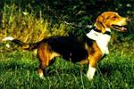 Cute Westphalian Dachsbracke dog