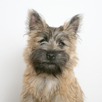Cute wheaten Cairn Terrier dog picture