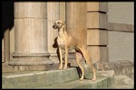 Cute Whippet dog