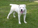 Cute white Alapaha Blue Blood Bulldog