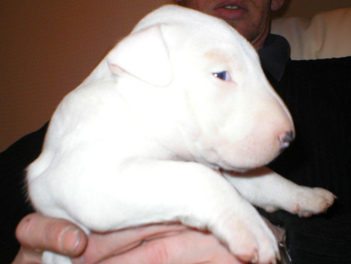 Cute white Bull Terrier puppy wallpaper