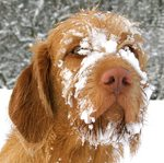 Cute Wirehaired Vizsla dog with snow face