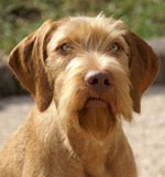 Cute Wirehaired Vizsla dog