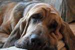 Cute wrinkled Bloodhound face