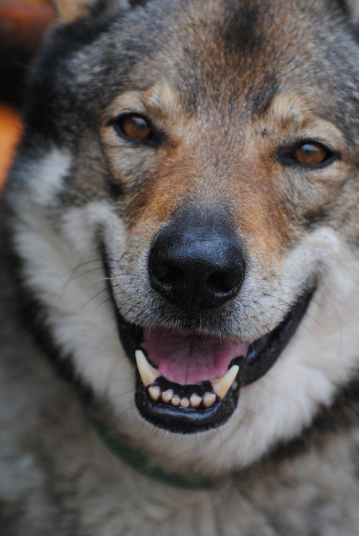Czechoslovak Wolfdog face wallpaper
