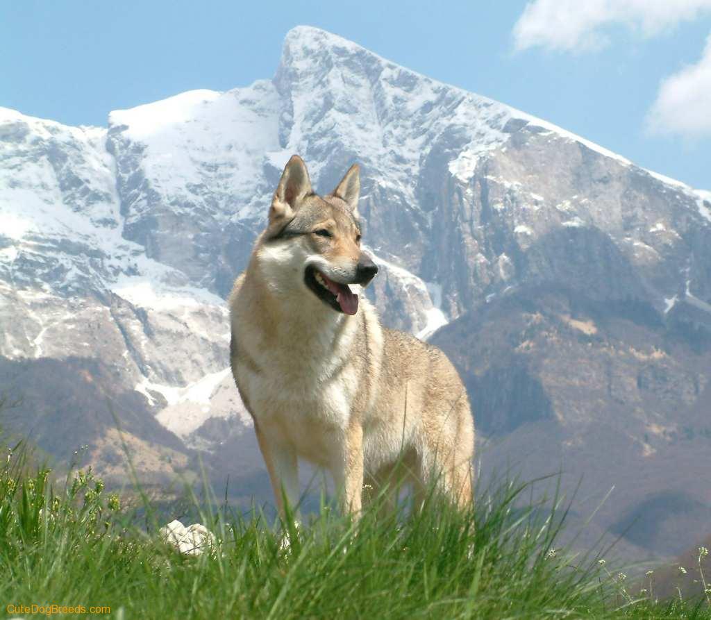 Чехословацкая волчья собака на природе фото