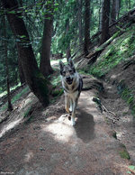 Czechoslovak Wolfdog in the forest