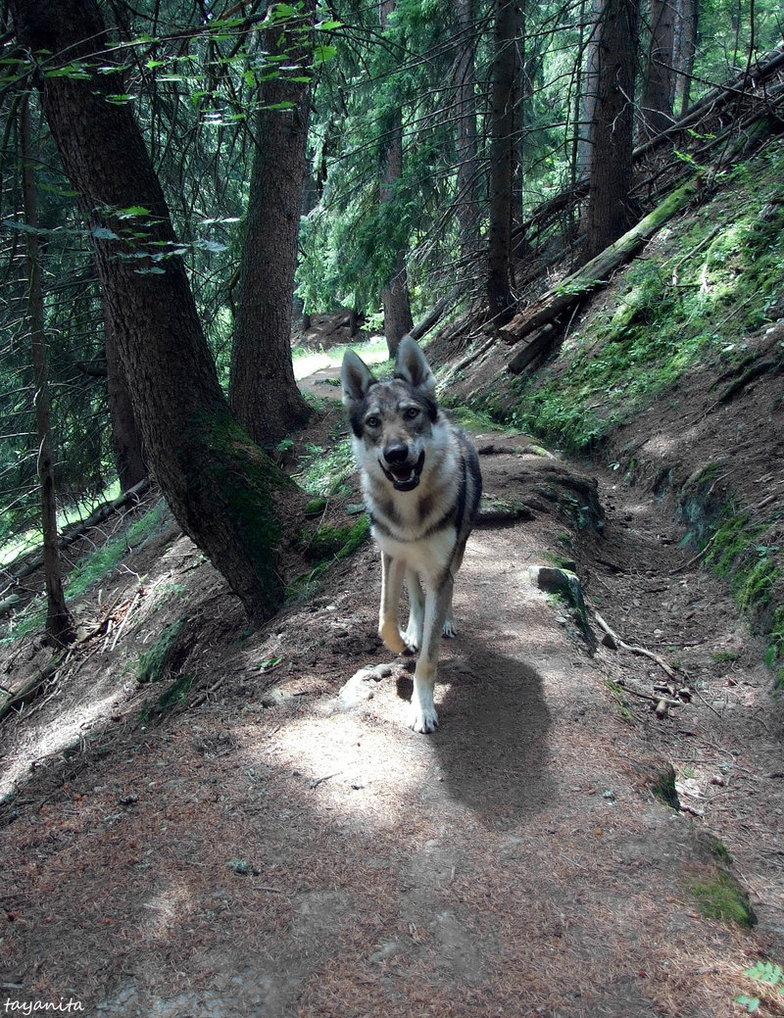 Чехословацкая волчья собака в лесу фото