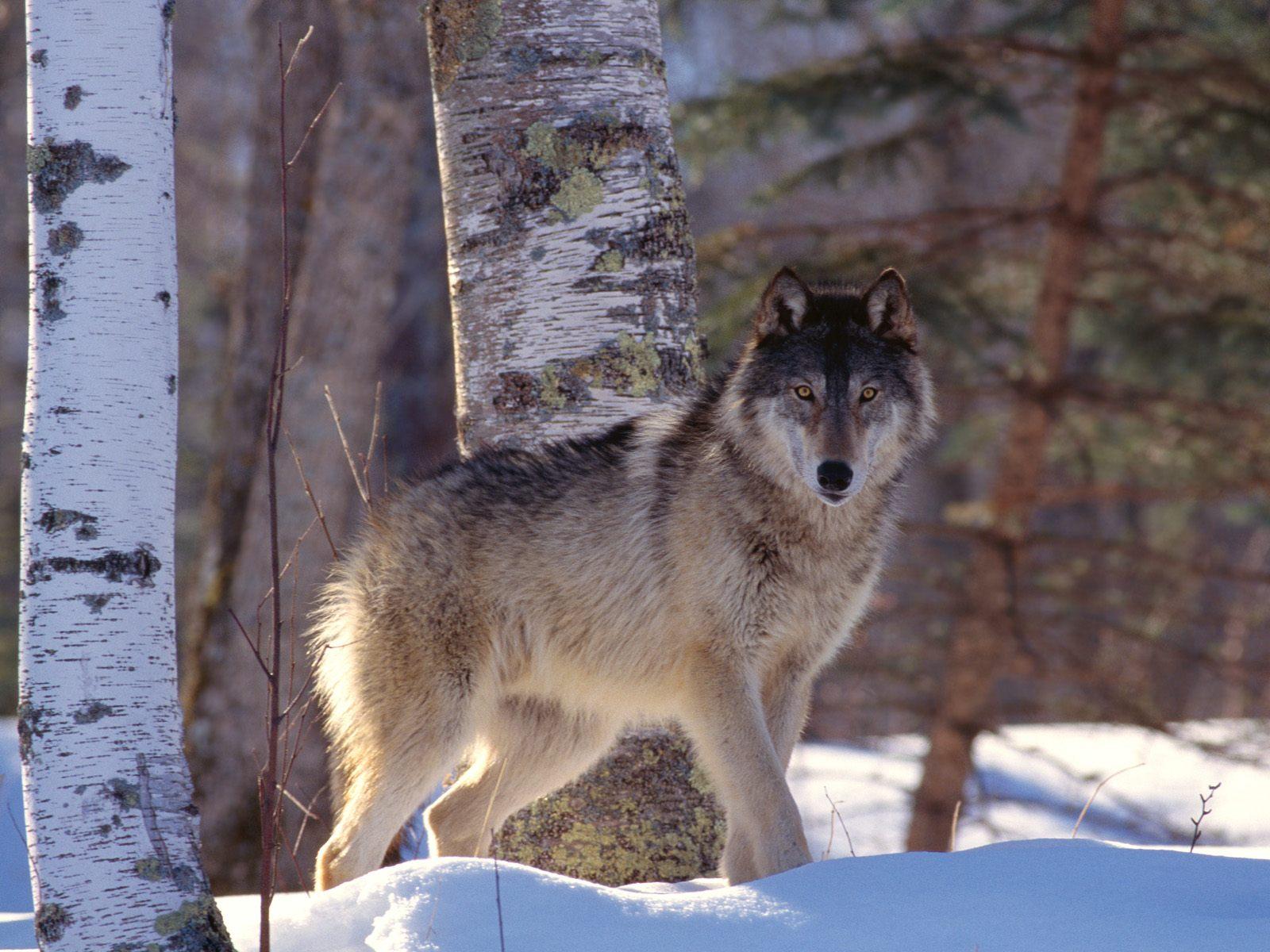 Чехословацкая волчья собака в снегу фото