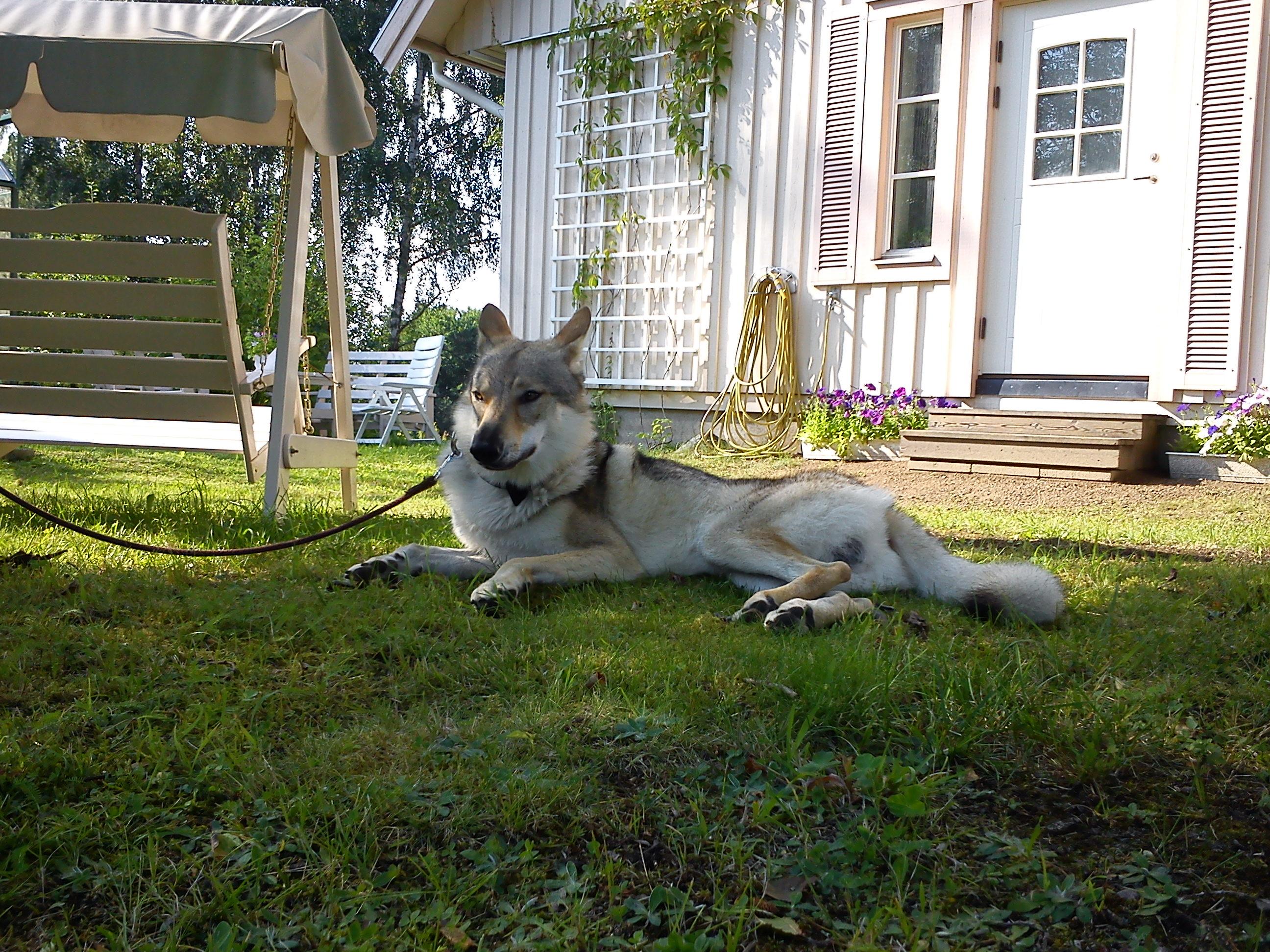 Чехословацкая волчья собака во дворе фото